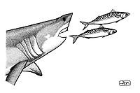 Porbeagle, Lamna nasus, catching Atlantic mackerels, Scomber scombrus, pen and ink illustration.