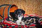 Australian Shepard puppy playing on the haystack in.Bishop, California