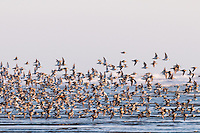 Mixed flock of shorebirds--mostly dunlins and western sandpipers--flying along tideline on northern migration along Pacific Ocean Coast,  Washington State.  morning.