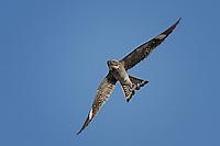 Common Nighthawk, San Angelo State Park, TX