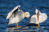 American White Pelican, Pelecanus erythrorhynchos,adults preening, Rockport, Texas, USA, December 2003