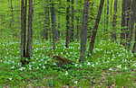 Large-flowered trillium growing in a northern Wisconsin woodland.