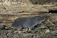 MU10-116z   Short-tailed Shrew - Blarina brevicauda