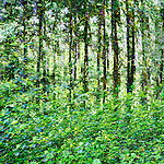 Rainforest, multiple exposure near Lake Quinault in Olympic National Forest, Washington.