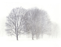 Trees in very heavy snow. Barrington, Rhode Island.