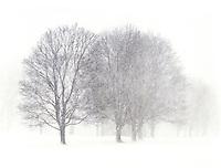 Trees in very heavy snow. Barrington, Rhode Island.