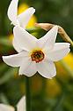 Old pheasant's eye daffodil (Narcissus poeticus var. recurvus). Division 13.