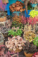 Variety of Heucheras in pot containers garden exhibit including Strawberry Swirl, Sashay, Marmalade, Frosted Violet, Gypsy Dancer, Pino Gris, Ginger Ale, Crimson Curls, Rave On, Lime Rickey, Southern Comfort in baskets, with some in bloom flowering