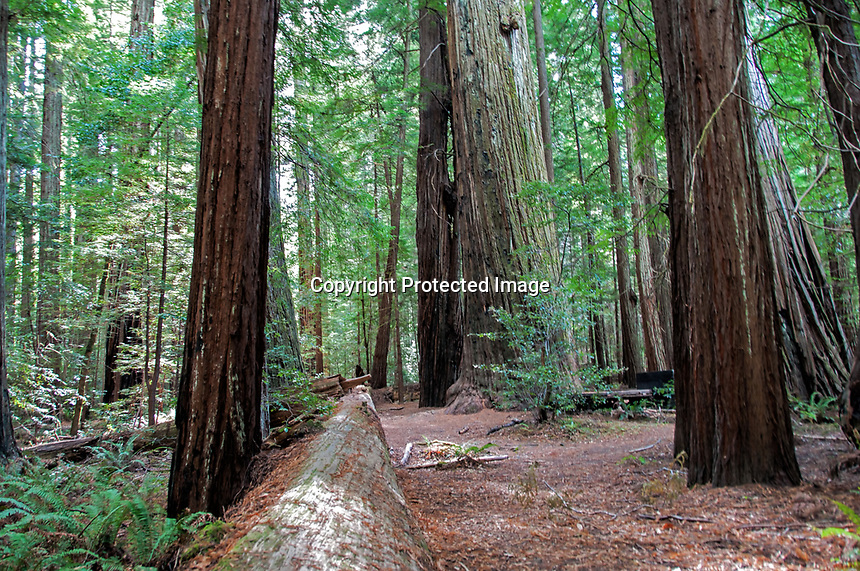"""A beautiful day in the fall at Humbolt Redwood State Park, California. A view of the """"Giant Tree""""."""