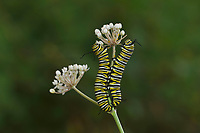 Monarch (Danaus plexippus), caterpillar feeding on Aquatic Milkweed (Asclepias perennis). Hill Country, Central Texas, USA