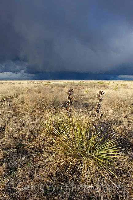 Sandsage steppe, prairie yucca and approaching thunderstorm. This is the habitat of teh Lesser Prairie-Chicken. Cimarron National Grassland, Kansas. April.