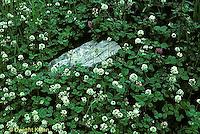 FW06-002a  White Clover - cover crop - Trifolium repens