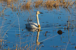 Banded trumpeter swan swimming in Phantom Lake at Crex Meadows Wildlife Area.