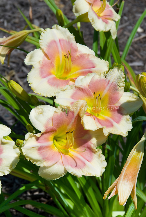 Hemerocallis Exotic Candy daylily pink banded perennial flowers