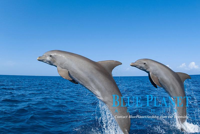 Bottlenose Dolphin Tursiops truncatus Caribbean Sea Honduras