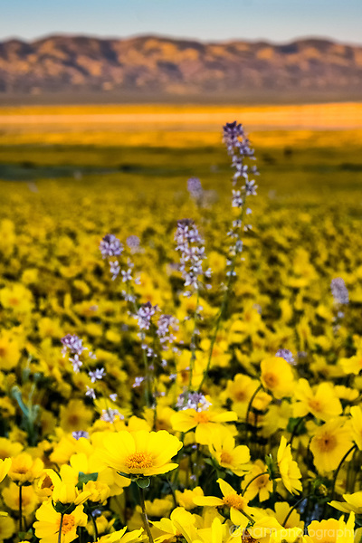 Yellow daisies at the Carrizo Plain National Monument