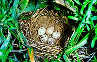 Grauammer, Ei, Eier in Nest, Gelege, Grau-Ammer, Miliaria calandra, Emberiza calandra, corn bunting, egg, eggs, Le Bruant proyer, Proyer d'Europe