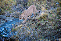 Puma (Puma concolor) was feeding on a Rhea (large flightless bird related to Ostrich) carcass. Somewhat unusually for a wild adult Puma, she was eating something she didn't kill. Here she seems to be conducting an extensive search to determine the owner of the kill. She was very intense throughout the process - perhaps she was wary of the other cat returning or she knew she had broken an unwritten Puma rule.