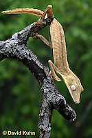 0505-0841  Lined Leaf-tailed Gecko Climbing, Uroplatus lineatus © David Kuhn/Dwight Kuhn Photography