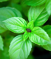 Basil, Cinnamon Ocimum basilicum