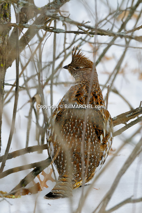 00515-071.09 Ruffed Grouse is in heavy cover during winter.  Hunt, snow, cold, survive, weather, severe.