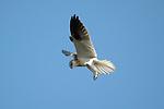 Brown Goshawk -Accipter fasciatus