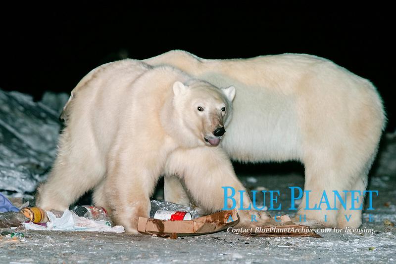 Habituated Polar Bears, Ursus maritimus, feeding in the dump at night near Churchill, northern Manitoba, Hudson Bay, Canada, polar bear, Ursus maritimus