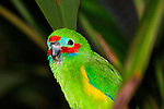 Double-eyed fig-parrot-race macleayana