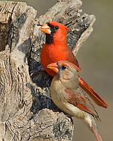 Northern Cardinal couple, Dos Venadas Ranch, Texas