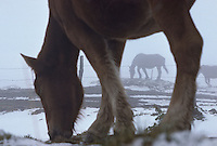 Europe/France/Auverne/63/Puy-de-Dôme/Col de la Croix Morand: Cheval en hiver