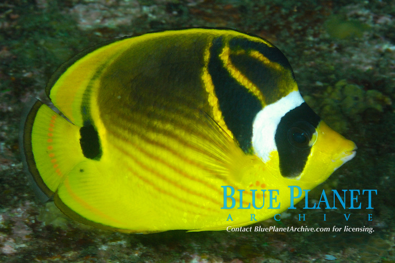 Racoon butterflyfish, Chaetodon lunula, Similan Islands, Andaman Sea, off the coast of Phang Nga Province, southern Thailand, Indian Ocean