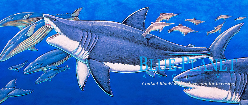 Carcharocles megalodon, extinct 'megatooth' shark, was a massive predator that munched on thirty foot whales half its size, illustration of prehistoric shark