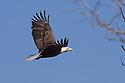 00370-014.14 Bald Eagle (DIGITAL) adult in flight with tree in foreground.  Bird of prey, raptor, predator, bird, birding.  H3R1