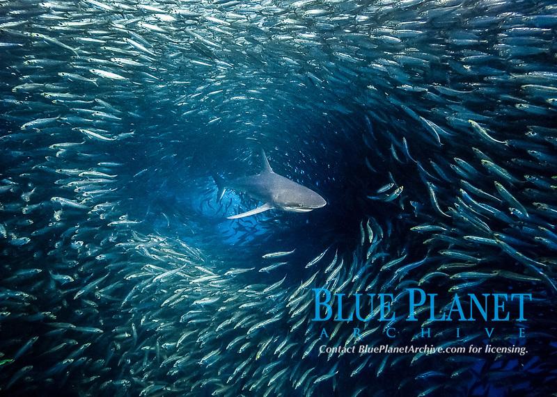 dusky shark, Carcharhinus obscurus, attacking and feeding on sardine bait ball of South American pilchards, Sardinops sagax, during annual sardine run, South Africa, Indian Ocean