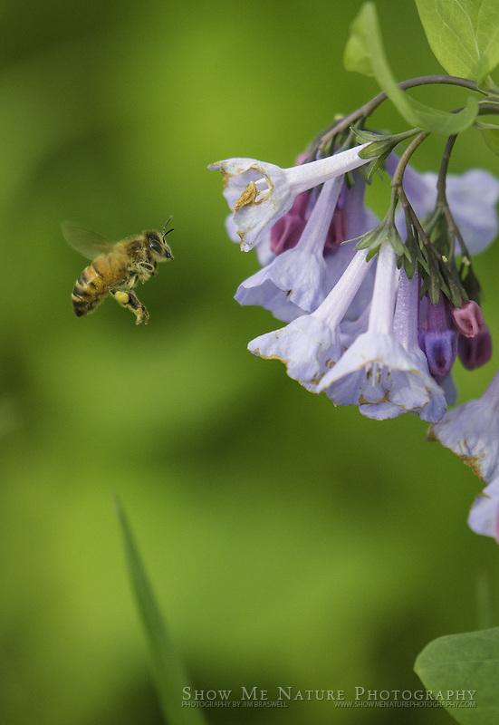 Honey Bee on Bluebell wildflowers