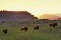 Bison (Bison bison) evening in Lamar Valley, Yellowstone National Park, Wyoming.  June.