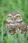 USA, Florida, Cape Coral, Burrowing Owl (Athene cunicularia)