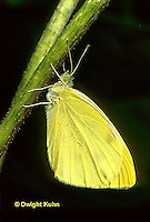 BW01-016b  Cabbage White Butterfly adult - Pieris rapae.