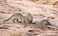 Three Banded Mongooses, Mungos mungo, dig in sandy soil beside a dry creekbed in Serengeti National Park, Tanzania.