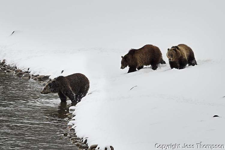 Grizzly Bear with Cubs, Grand Teton National Park