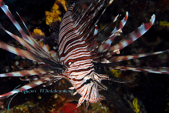 Common Lionfish, Pterois volitans