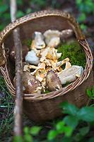 Europe/France/Midi-Pyrénées/82/Tarn-et-Garonne/Saint-Étienne-de-Tulmont: Le panier de champignons: cèpes et girolles de Christian Constant