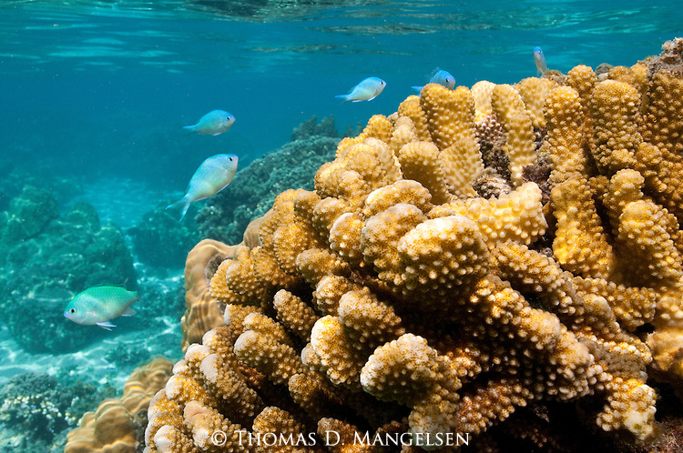 Colorful blue fish swim along the coral in the clear waters off Cook's Bay, Moorea in French Polynesia.