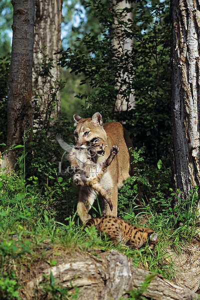 Mountain lion, cougar, or puma (Puma concolor) mother carrying young cub whiched had strayed to far from the den area, Western U.S.