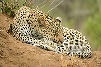 Leopard (Panthera pardus), female adult, sleeping on termite mound, Sabi Sands Game Reserve, South Africa, Africa