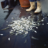 Edison Dardar empties his shrimp net onto a dock to separate out the catch, mostly small minnows that he throws back into the water. Dardar continued to catch shrimp off the dock near his house in the predominantly Native American community of Isle Jean Charles, Louisiana in the months after the oil spill. Although commercial fishing was banned after the spill, many local residents continue to catch fish, shrimp and crabs for their own consumption. Edison is a retired oysterman. The shrimp he catches less than a mile from his house are a large part of the meals he and his wife prepare.