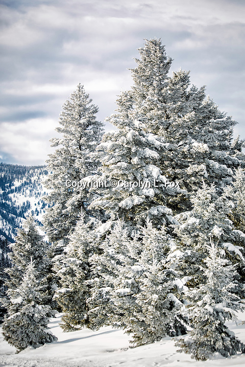 Snow is on the trees in Yellowstone in the winter