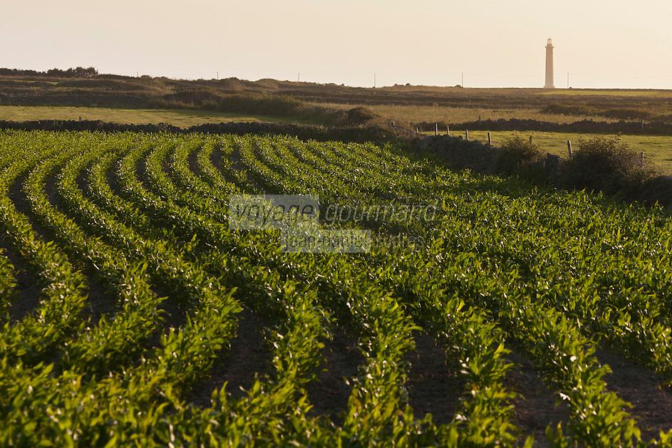 Europe/France/Normandie/Basse-Normandie/50/Manche/Presqu'île de la Hague/Goury: le phare du Cap de la Hague   et champ cultivé