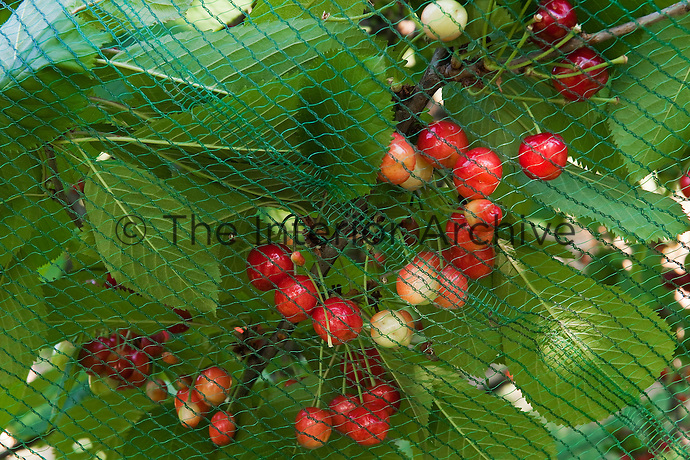 The cherry trees in the orchards are covered in netting to protect against marauding birds