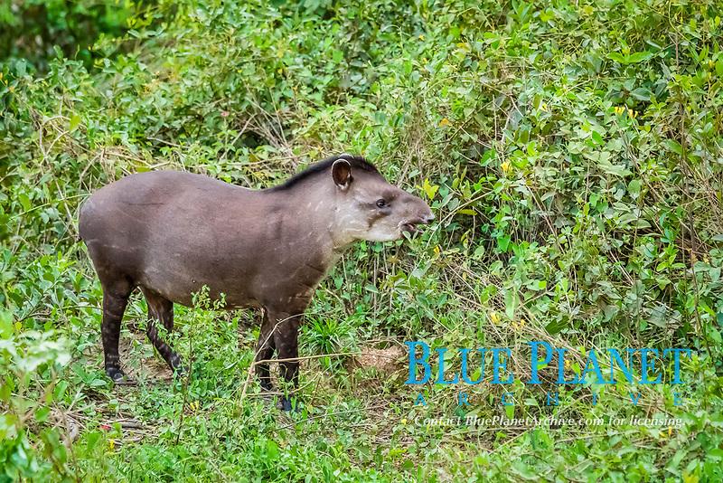 South American tapir, Tapirus terrestris, adult, feeding, Pousado Rio Claro, Mato Grosso, Brazil, South America